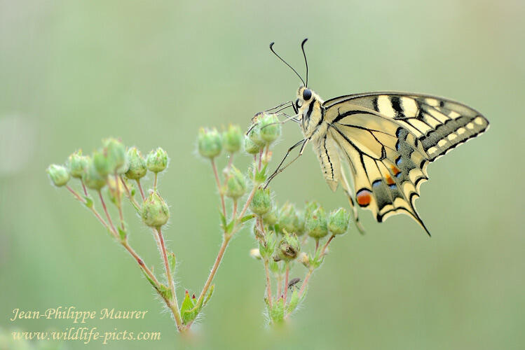 Jean-Philippe Maurer , Papilio machaon