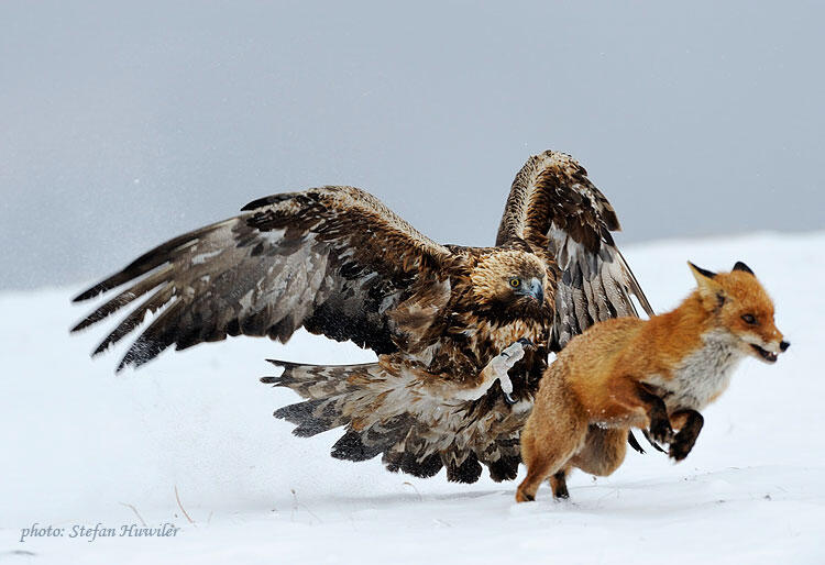 Stefan Huwiler, Golden eagle and Red Fox