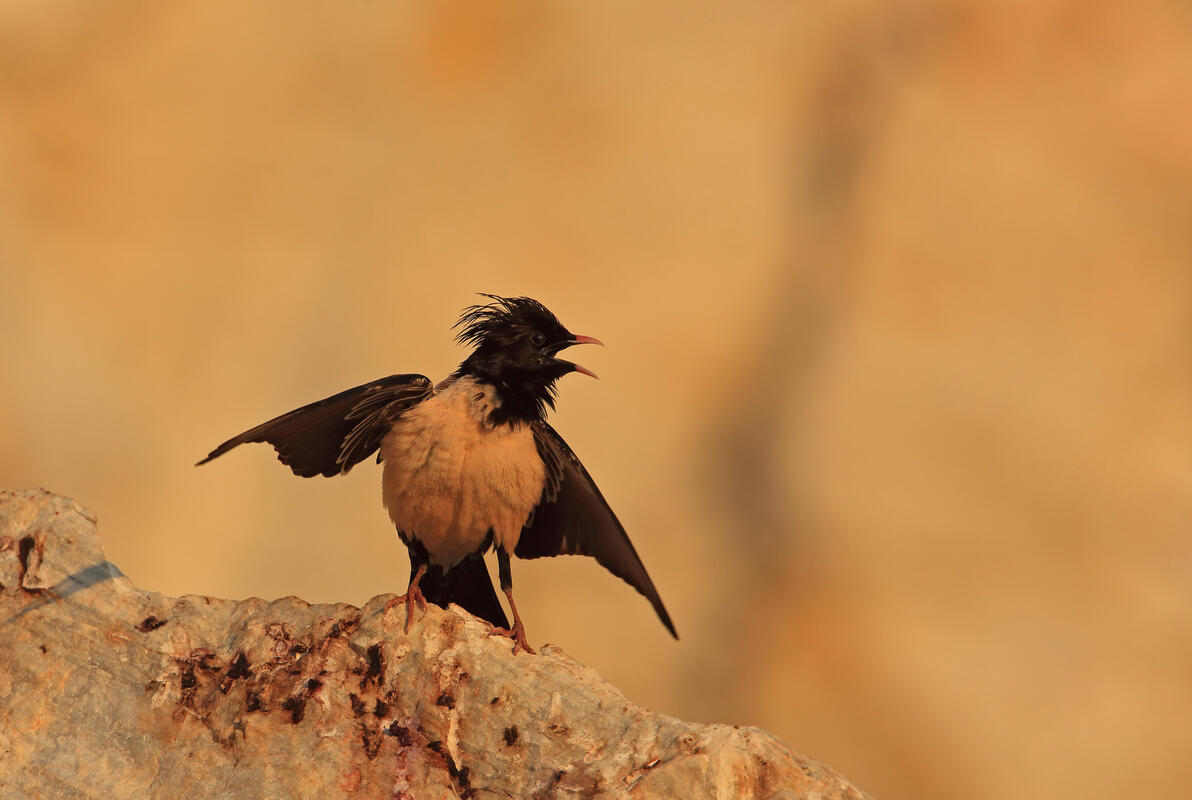 Rose-coloured Starling / Sturnus roseus/