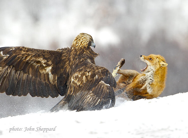 John Sheppard,  Golden eagle and Red Fox