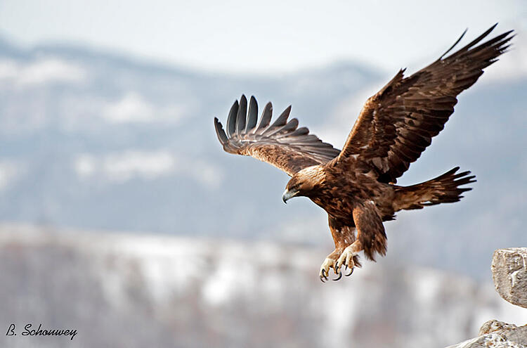 Bernard Schouwey, Golden eagle
