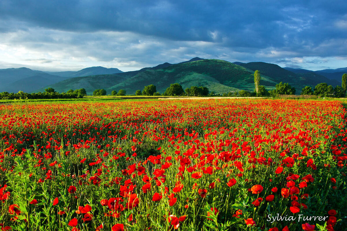 Sylvia Furrer, poppy fields near Rodopi