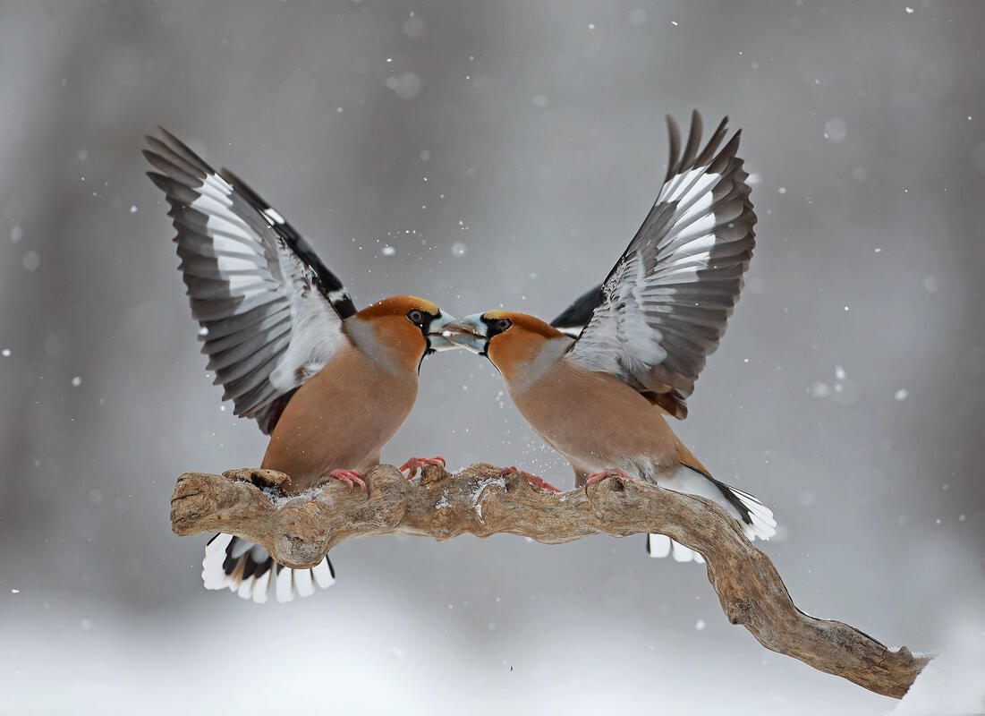 Hawfinches /Coccothraustes coccothraustes/