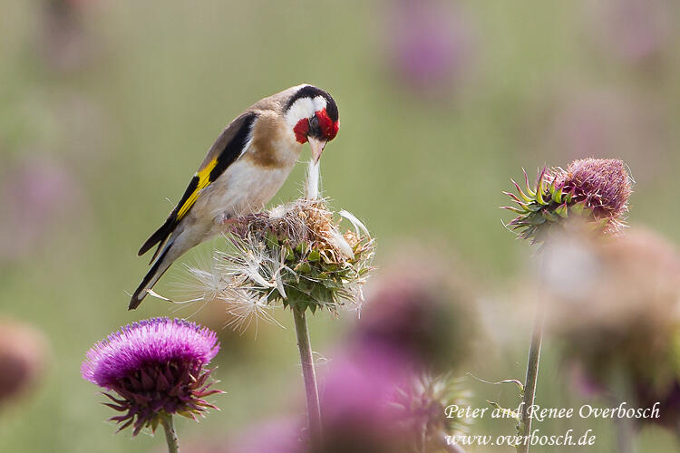 Renee Overbosch,  Goldfinch