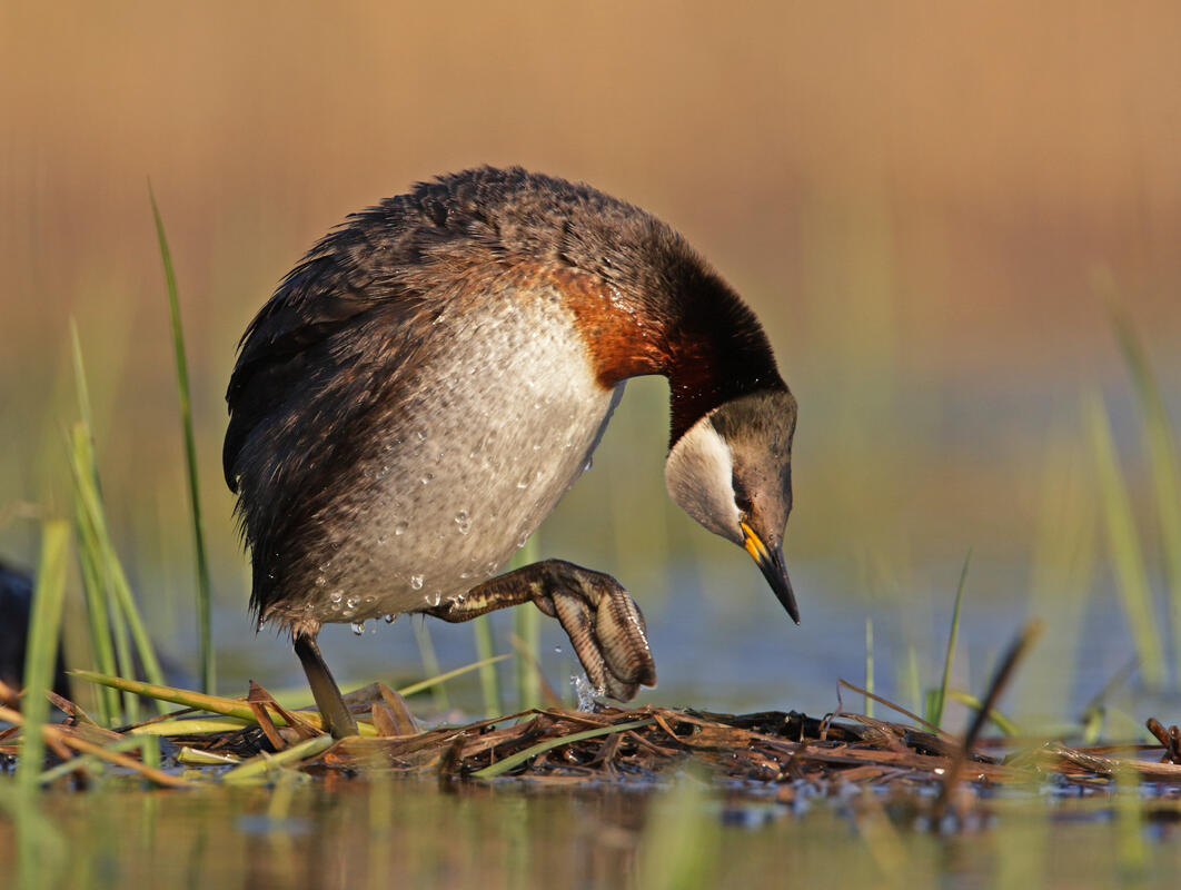 Red-Necked Grebe /Podiceps grisegena /