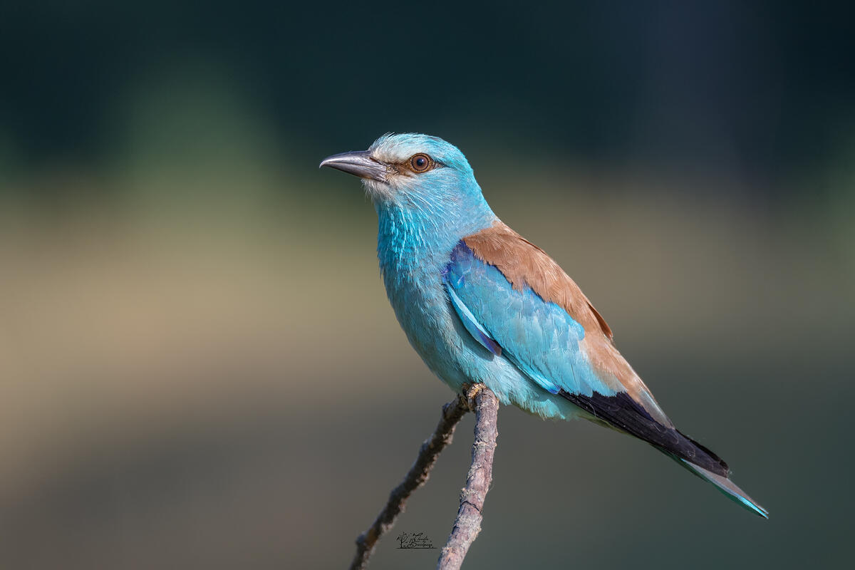 Claudia Brockmann, European Roller