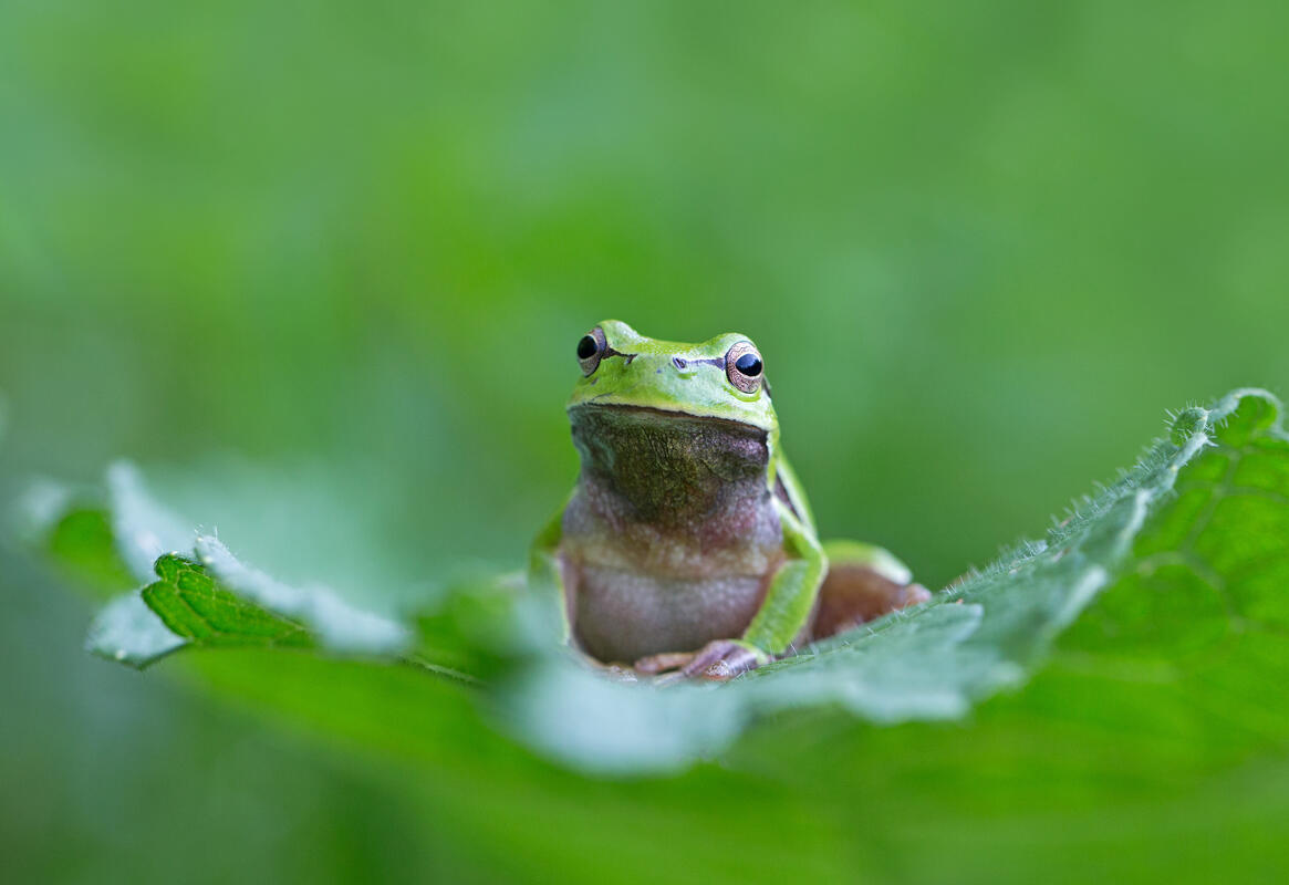 Common Tree Frog /Hyla arborea/
