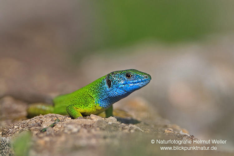Helmut Weller, Lacerta viridis - Eastern Green Lizard