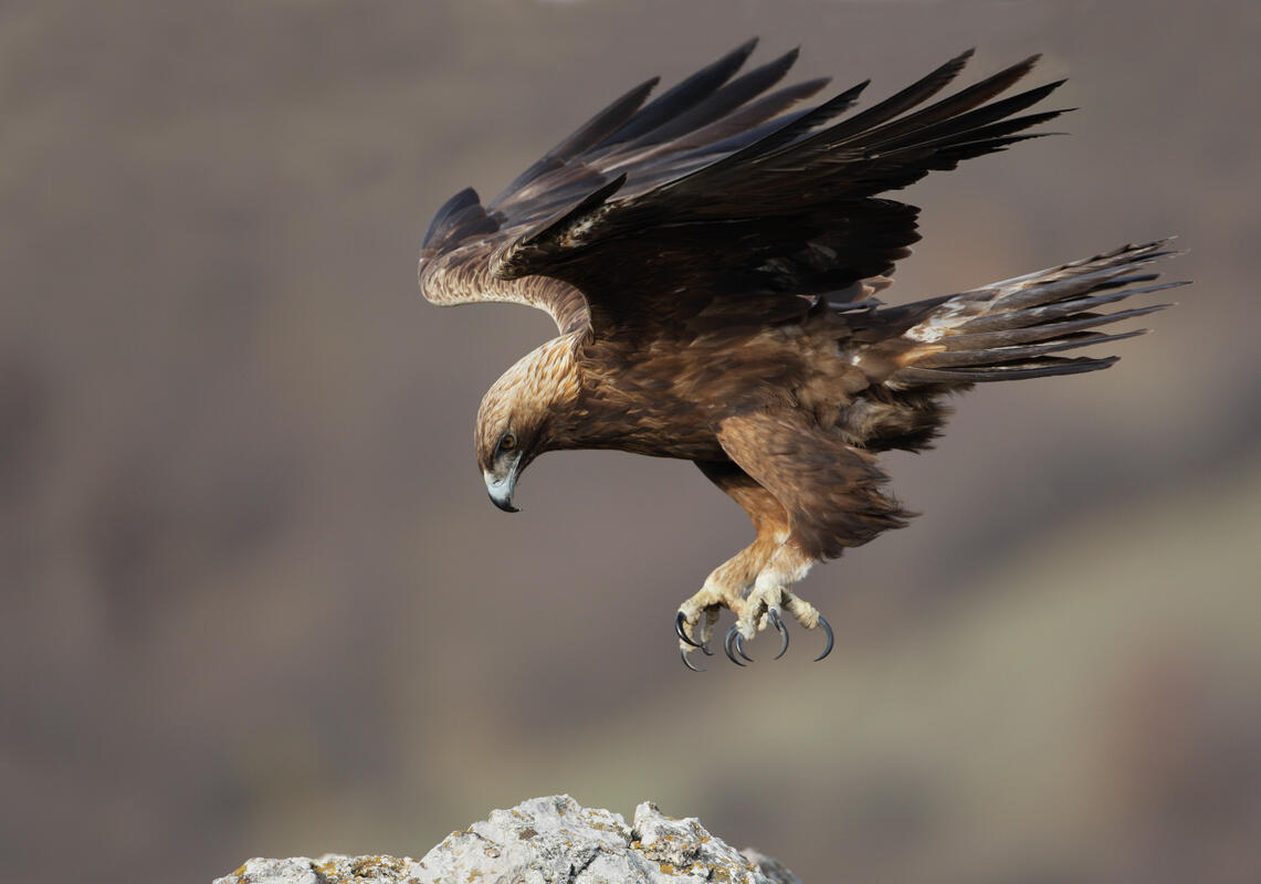 Golden Eagle /Aquila chrysaetos/