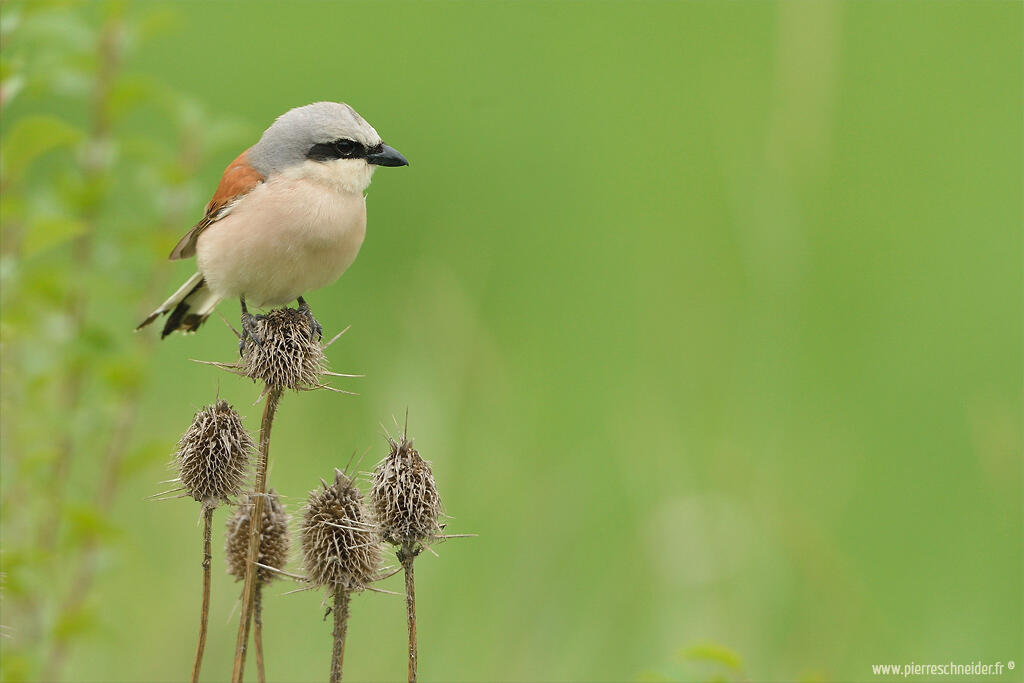 Pierre Schneider, Red-backed Shrike /Lanius collurio/