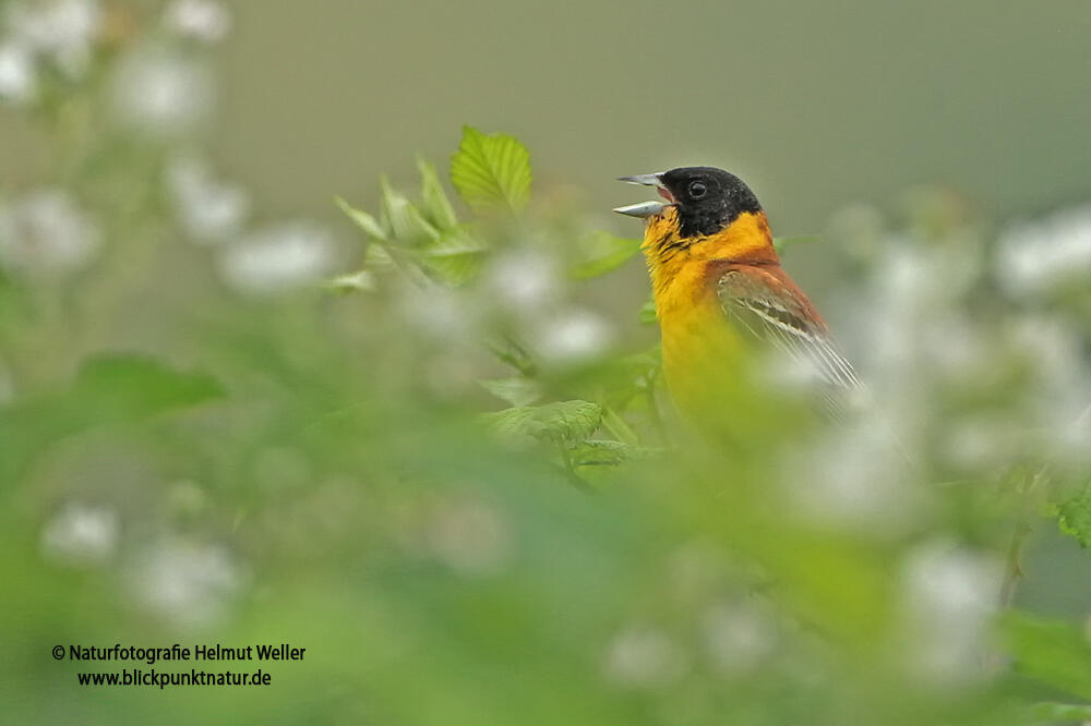 Helmut Weller, Black-headed Bunting /Emberiza melanocephala/