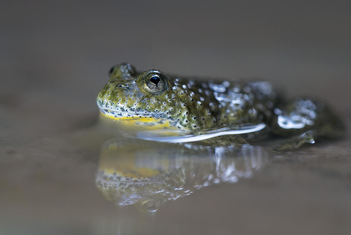 Yellow-bellied Toad /Bombina variegata/