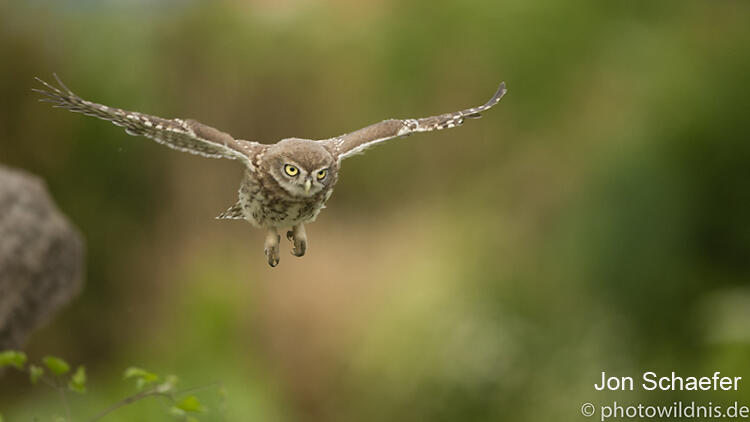 Jon Schaefer, Little Owl