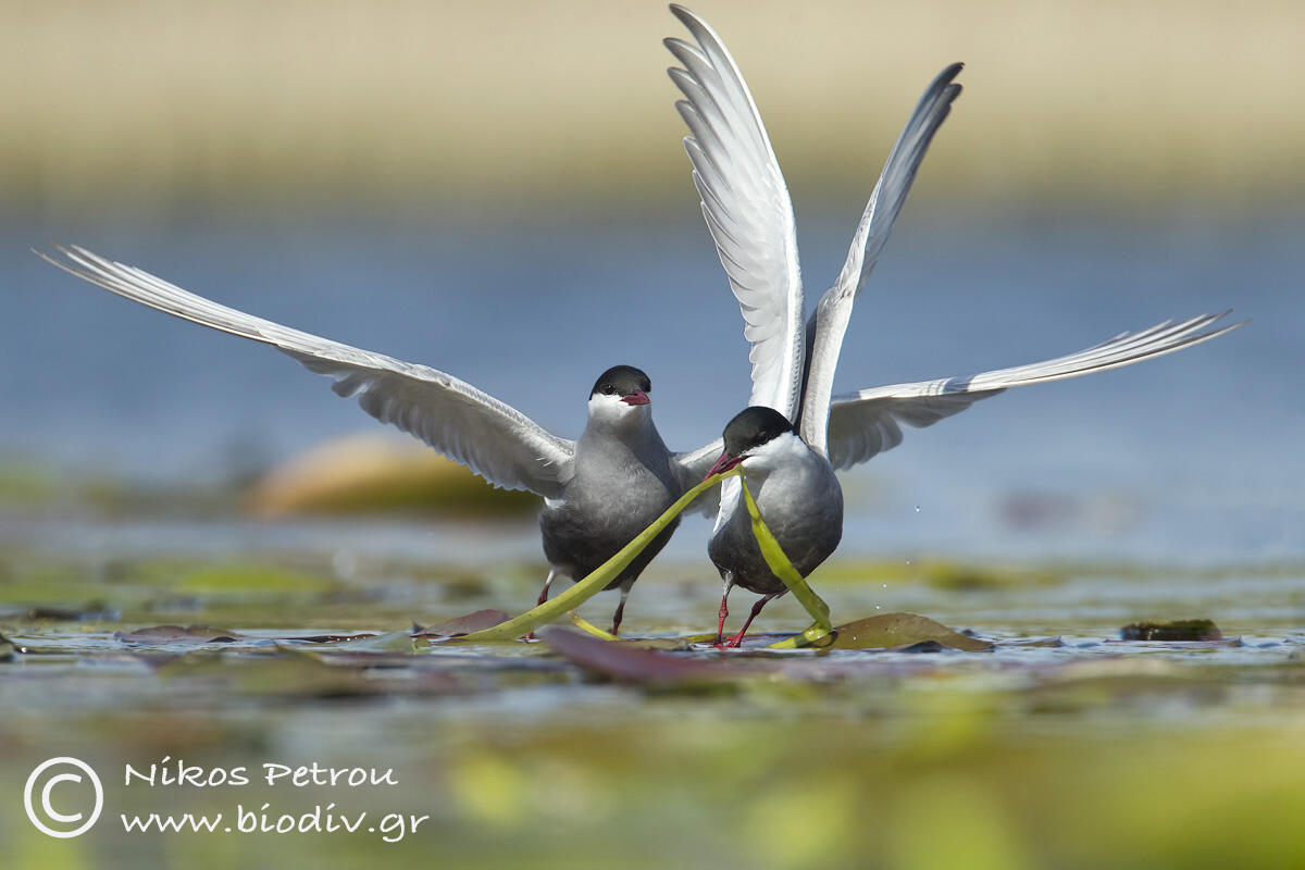 Common Buzard, Whiskered Tern /Chlidonias hybrida/