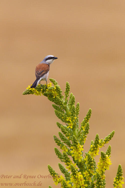 Renee Overbosch, Red-backed Shrike,