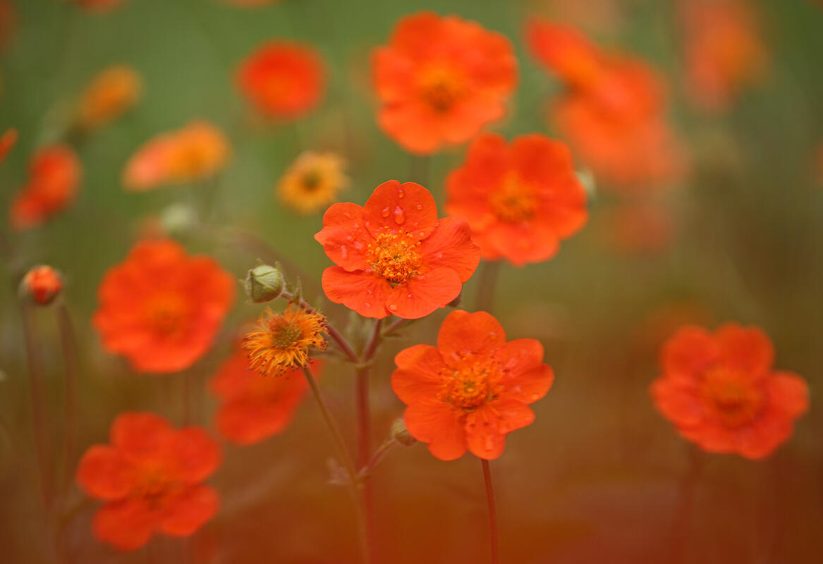 Orange Geum (Geum coccineum Sm.)
