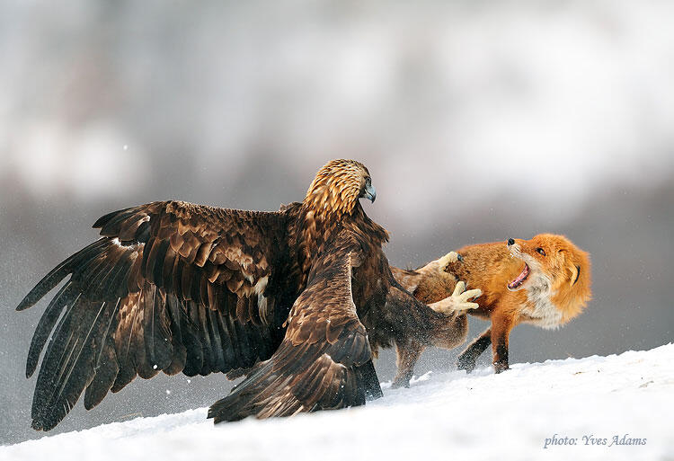 Yves Adams, Golden eagle and Red Fox
