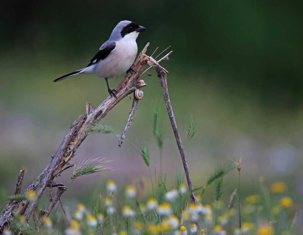 Lesser Grey Shrike / Lanius minor/