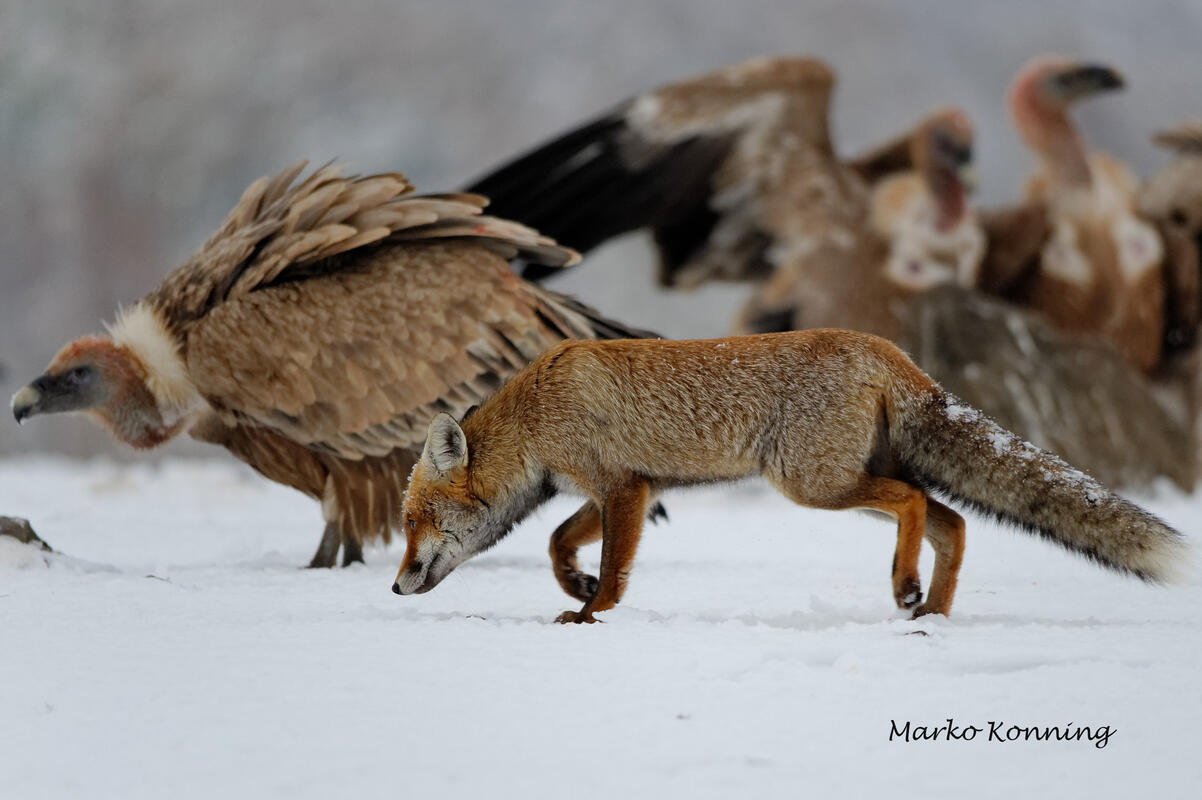Marko Koenig, Griffon Vultureс and Red Fox
