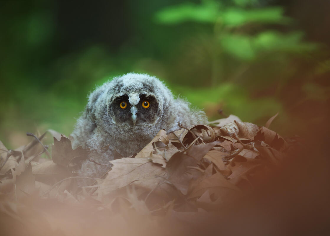 Long-eared Owl / Asio otus/